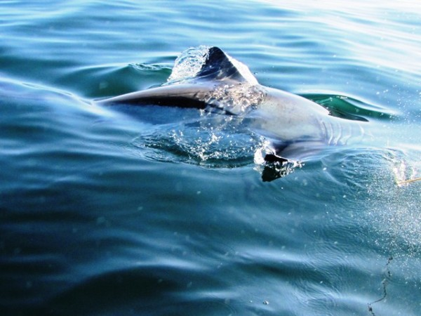 shark fin resize