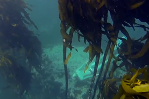 diving-in-kelp-forest