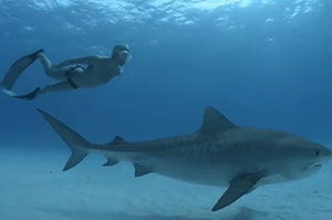 freediving-with-sharks
